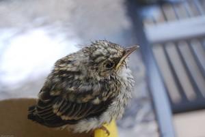 Feldlerche männlicher Jungvogel