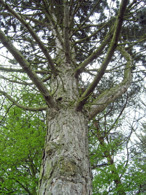 Alter Baum im Park des ehemaligen LKH Göttingen