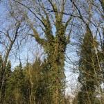 Ehemaliges LKH Göttingen alter Baumbestand