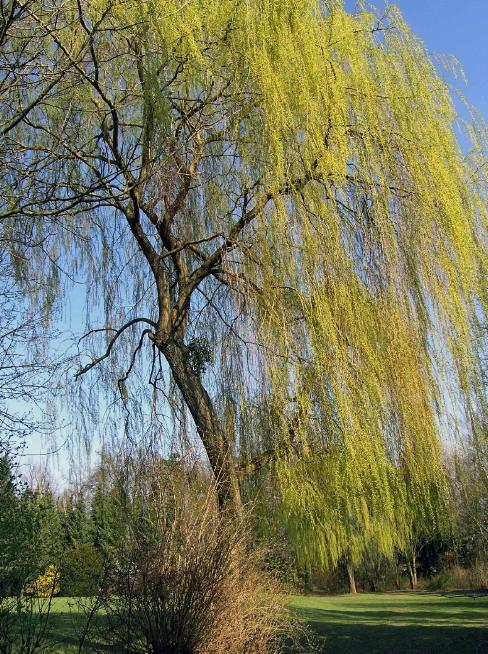 Park des ehemaligen LKH Göttingen, alter Baumbestand